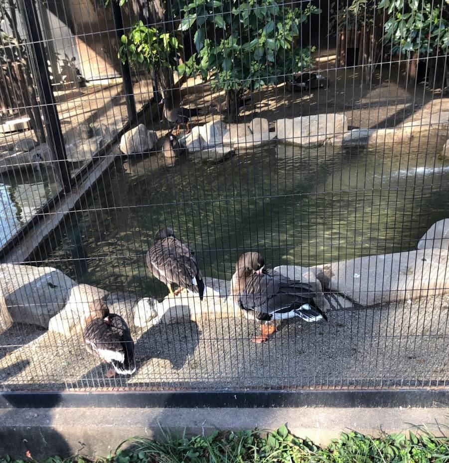 inokashira_park_sakura14